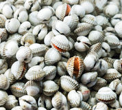 Sea food raw Surf clam background Royalty Free Stock Images