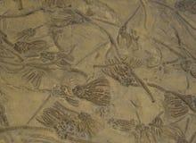 Sea Fossils. Museum exhibit, University of Nebraska royalty free stock photos