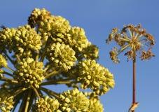 Sea Garden Angelica, Angelica archangelica litoralis, in Gotland Island, Sweden royalty free stock image