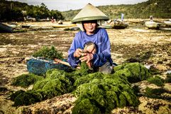 The sea gives. Sea weed is collected every evening in nusa lembongan, indonesia, giving its people a source of life Royalty Free Stock Image
