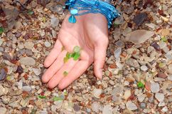 Sea Glass. Child's hand holding pieces of green sea glass Stock Photography