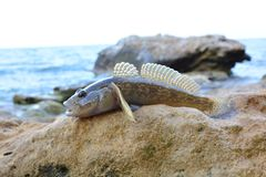 Sea goby on the beach near the water. Black Sea goby on the beach near the water royalty free stock images