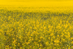 Sea of Gold Royalty Free Stock Photo