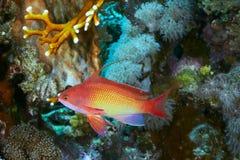 Sea goldie Royalty Free Stock Photos