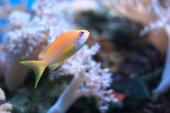 Sea goldie Stock Images
