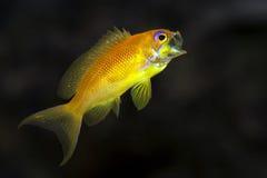 Sea goldie - Anthias -Pseudanthias squamipinnis - gape Stock Photography