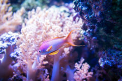 Sea goldie fish on pink coral and stone background Stock Image