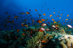 Sea goldie fish swim over the coral garden in a dramatic light Stock Photos
