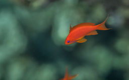 Sea goldie male. Swimming in the red sea, corals background Royalty Free Stock Photography