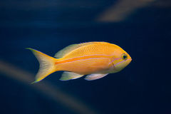 Sea goldie (Pseudanthias squamipinnis), also known as the lyreta Royalty Free Stock Image