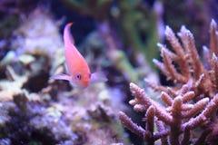Sea goldie Stock Photos