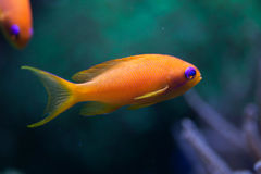 Sea goldie (Pseudanthias squamipinnis) Royalty Free Stock Photography