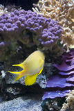 Sea Goldie & x28;Pseudanthias squamipinnis& x29; Stock Images