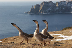 Sea goose. Near Vladivostok, Russia, Far-East. Winter Royalty Free Stock Image