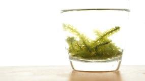 Sea grape seaweed, uni budou. japanese ocean seaweed food. great Stock Images