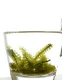Sea grape seaweed, uni budou. japanese seaweed Stock Photos