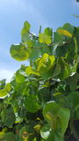 Sea grape tree in St.Thomas usvi Stock Photography