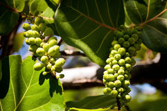 Sea grapes Stock Photography