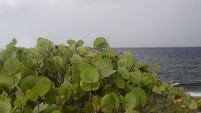 Sea Grapes with Caribbean in Background stock video