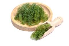Sea grapes ( green caviar ) seaweed Stock Images