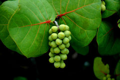 Sea Grapes Stock Image