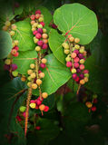 Sea Grapes Hanging in Clusters. Sea Grapes growing on Grand Bahama Island royalty free stock image