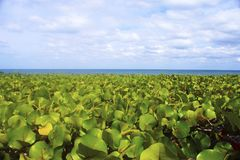 Sea Grapes of Jupiter Island -01. Green fields of sea grapes line the coastal beaches in Jupiter Island, Florida, USA royalty free stock photo