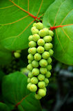 Sea Grapes Vertical. Green Sea Grapes full bundle hanging from the tree. Brilliant green seeds from the sea grape plant Royalty Free Stock Image