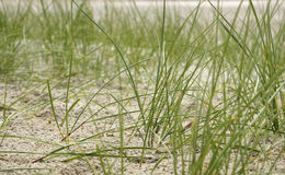 Sea grass on the beach Royalty Free Stock Photography