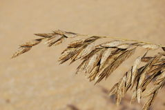 Sea Grass at the beach Royalty Free Stock Photo