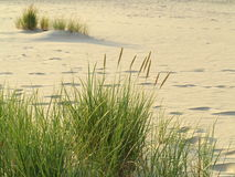 Sea grass on the coast of the Baltic Sea. Sandy beach in summer Royalty Free Stock Photography