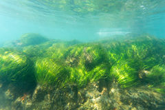 Sea Grass Royalty Free Stock Image