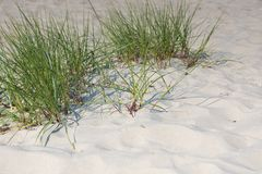 Free Sea Grass In The Dunes Royalty Free Stock Photos - 130054068
