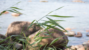 Sea and grass. Grass, rocks and the Baltic sea. Gulf of Finland Stock Photo