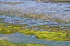 Sea grass weed on a stone moss in Bali at the beach. Nice stock image