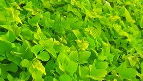 Sea of green. Beautiful sweet patatoe vine Royalty Free Stock Image