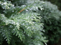 Arborvitae with droplets. Arborvitae on a rainy day.  Rainy, autumn day evergreens Stock Image