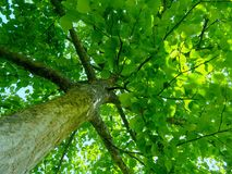 A sea of green tree. A view up a very green sun dappled tree in the Bishop Palace Gardens in Chichester, England, UK royalty free stock photography