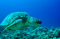 Sea Green Turtle Royalty Free Stock Image