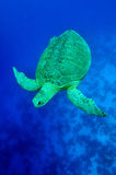 Sea green turtle Stock Photos