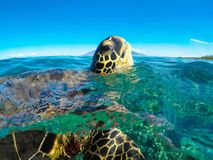 Green Sea Turtle Popping Head Up. This Sea Green Turtle is in Maui Hawaii. He is popping his head up out of the water for a breath of air stock photo