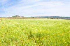 Sea green wheat Stock Image