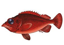 Sea grouper Stock Photo