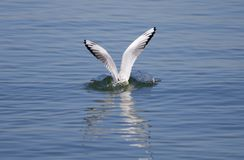 Sea gull,Sea mew,with flying wings looking for food in lake Stock Photography