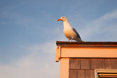 Sea-gull στο ηλιοβασίλεμα Στοκ Φωτογραφίες