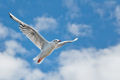Sea gull 03 Royalty Free Stock Photography