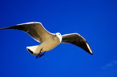 Sea gull 1 Royalty Free Stock Image