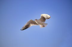 Gull. A gull against the blue sky royalty free stock photos