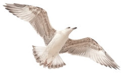 Sea gull. Flying sea gull on the white background Royalty Free Stock Image