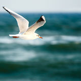 Sea gull. On background sky stock photography